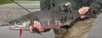 Chum Dog Salmon